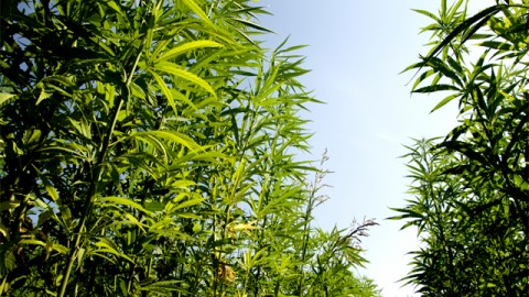 Hemp and Green Energy are Destined to Marry